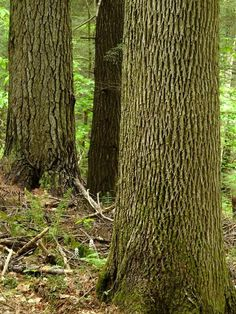 Large White Ash (foreground), among large White Pines in old growth forest of