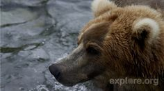 We have new information about the surprising events that occurred this week on #bearcam. Click to read an account from Katmai National Park's Ranger Roy.