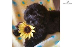 I am a cute Yorkiepoo - Yorkie Poo puppy, looking for a home on NextDayPets.com!