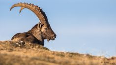 animalier - Bouquetin - Richard Pittet - photography