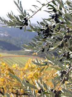albero di olive