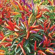 Fireworks Ornamental Pepper