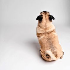 pug booty
