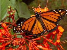 A Monarch Butterfly Rests on the Flowers of a Pagoda Plant Photographic Print at AllPosters.com