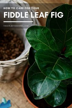 Are you looking for a plant that is sleek, modern, and pretty easy to grow?! Check out this fiddle-leaf fig! With the right care information going in, you'll have a beautiful indoor plant in no time! #fiddleleaffig #homedecor  How to Care for a Fiddle Leaf Tree | Fiddle Leaf Tree Care House Plants | How to Take Care of a Fiddle Leaf Tree | How to Water Fiddle Leaf Tree | Fiddle Leaf Tree Care Indoor | Fiddle Leaf Fig Care |