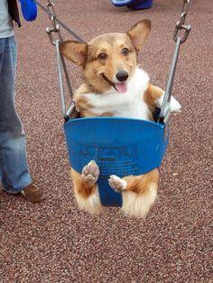 Corgi Funny, Cute Corgi, Corgi Dog, Beagle, Cute Puppies, Dogs And Puppies, Funny Humor, Adorable Dogs, Animals And Pets