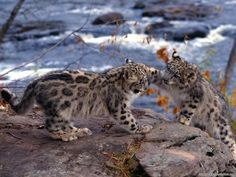 SNOW LEOPARD CUBS Playing (Uncia uncia or Panthera uncia) - from Desktopia.net (no photographer listed) pyrat3ss: Tag! You're it!