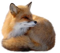Download PNG image: fox png image, free download picture