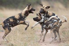 Kenya safari tours:Enjoy a private African Safari in Kenya or a group Africa wildlife Kenya safari, a Kenya tour of a life time! Book a safari to Kenya now African Hunting Dog, African Wild Dog, Hunting Dogs, African Safari, Slimming World, Dog Heaven, Game Reserve, Wild Dogs, Hyena