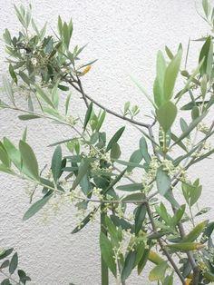 2015/05/18 olive