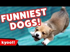 Image of: Laugh Challenge Try Not To Laugh At This Funny Dog Video Compilation Of 2016 Kyoot Animals Pinterest 25 Best Funny Animal Videos Images Funny Animals Cutest Animals