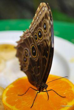 by Elena Rybak on Moth, Insects, Animals, Animales, Animaux, Animal Memes, Animal, Animais, Dieren