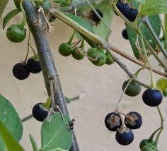 Jane Trembath: How to Make Umsoba / Msoba / Nightshade / Nastergal Jam Vegetable Garden, Wind Chimes, Natural Remedies, Berries, Fruit, Vegetables, Outdoor Decor, Plants, How To Make