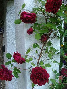 Rosa 'Guinee'