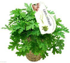 8. Le géranium Aussi appelé pélargonium, le géranium est une plante herbacée de la famille des Geraniaceae. Son feuillage dégage généralement un parfum agréable selon la variété (mandarine, citron, rose, noix de coco…). Le géranium à la citronnelle est souvent utilisé comme plante anti-moustiques.  Pour utiliser le géranium de manière optimale, il faut froisser son feuillage et appliquer cet agrégat sur les parties de votre corps (cou, jambes, les mains, etc.).