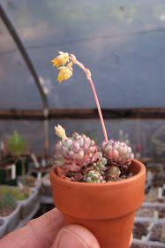 Oregon Cactus Blog: Echeveria minima