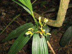 Orquídeas de Misiones: Corymborkis flava (Sw.) Kuntze