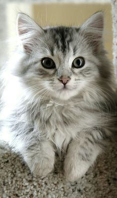 Cute Scottish Fold Kittens For Sale off Cute Names Of Kittens Female or Cute Kittens Kawaii per Cute Cat/dog Tattoos - Cute Cat Names In Japanese Pretty Cats, Beautiful Cats, Animals Beautiful, Pretty Kitty, Cute Baby Animals, Animals And Pets, Funny Animals, Wild Animals, Cute Cats And Kittens