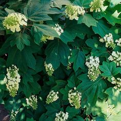 Oakleaf hydrangea was handpicked as one of Florida's best plants! See more plants to please Florida gardeners: http://www.bhg.com/gardening/gardening-by-region/south/plants-to-please-florida-gardeners/?socsrc=bhgpin072113floridaplants