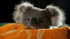 Amazing wildlife - Koala photo #koalas