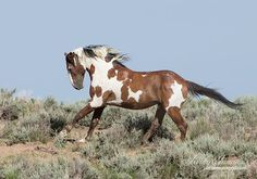 Photo of Picasso, a member of the Sand Wash Basin herd in Colorado by Living Images by Carol Walker https://www.facebook.com/295659820548926/photos/a.350442011737373.83374.295659820548926/639177469530491/?type=1