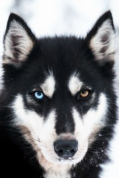 Black husky, dog portrait photography.