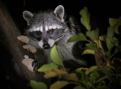 A raccoon looks down from its hiding spot in a plum tree in an orchard near Elkton, Oregon, US