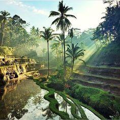 Rice Fields, Tegalalang, Bali