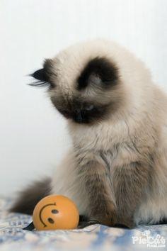 Himalayan Cat Studying Bal l https://www.facebook.com/CatsRPeopleToo