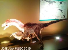 Velociraptor con plumas. 75 Millones de años. Cretácico. Mongolia. De 1,80 a 2.0 metros de largo y casi un metro de altura. Velociraptor with feathers. 75 million years. Cretaceous. Mongolia. From 1.80 to 2.0 meters long and almost one meter high