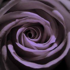 Purple Rose Purple Rose for Cystic Fibrosis Awareness This image has get 74 . Purple Rose Purple R Alzheimers Awareness, Cystic Fibrosis, Just Breathe, All Things Purple, Purple Roses, Flowers Nature, My Favorite Color, To My Daughter, Image