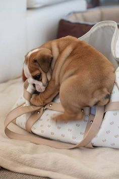 An often forgotten use for a #bag: It is a GREAT spot for a #puppy nap! #englishbulldog #breed #english #bulldog #best #dogs #cute #bulldogs #dog #pets #animals #canine #pooch #bullies