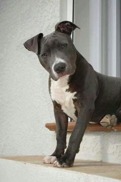 I want a pitty baby! Pitbull Terrier, Amstaff Terrier, Amstaff Puppy, Cute Puppies, Cute Dogs, Dogs And Puppies, Beautiful Dogs, Animals Beautiful, Animals And Pets