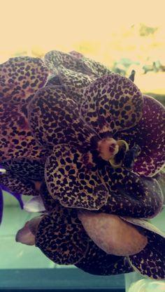 vanda orkide med prikker