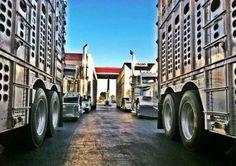 Cow truckin