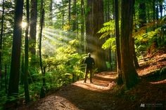 Enjoying a crisp early morning walk in our amazing Redwoods, Whakarewarewa Forest here in Rotorua. Such an amazing natural resource …