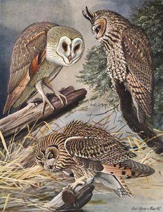 Granero búho Lámina, Pájaro Vintage impresión (1930 Aves Ilustración, Home Decor Art, placa de libro No. 45 en marco)