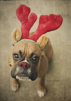 NOW I DON'T FEEL SO BAD....I just made my boxer wear the reindeer horns....I didn't give her a red nose.  I'll tell her it could have been worse.  Lol!  SH