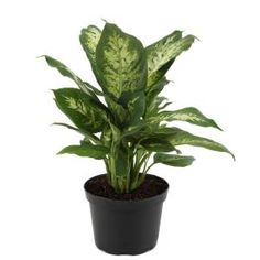 Costa Farms Pilea Peperomioides Sharing Plant in 6 in. Contemporary Planter-6PILEACONTEMP - The Home Depot Indoor Flowering Plants, Best Indoor Plants, Potted Plants, Cactus Plants, Buy Plants, Garden Plants, Indoor Garden, Vegetable Garden, Home Depot