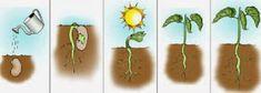 Montessori Science, Montessori Toddler, Plant Science, Science Nature, Preschool Classroom, Preschool Activities, Roots Tattoo, Science Worksheets, Plant Growth