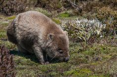 Wombat, Cradle Mountain