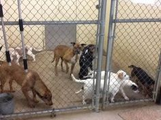 Murray Co GA - PLEASE SHARE FAR AND WIDE - MIRACLE NEEDED IN MURRAY COUNTY, GA. - OVERCROWDED SHELTER... This is a poor shelter and has always faced huge obstacles. They have so many adoptable dogs but right now their shelter is so overcrowded, dogs are on top of dogs in each kennel. Many dogs are fighting because of the stress of this situation. Several dogs have been injured. MCAC has over 50 dogs in their shelter and for many, their time is up. PLEASE SPREAD THE WORD about this urgent situat