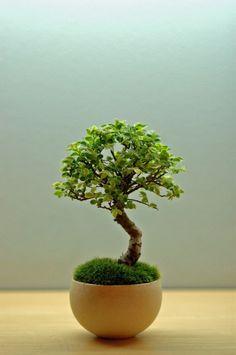日本盆景艺术家小林健二的苔藓盆景作品,朴素、寂静、谦逊、自然,很好的体现了侘(wabi) 寂(sabi)的东方哲学,在简洁安静中融入质朴的美。