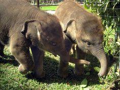 Baby Elephants #ivoryforelephants #elephants #stoppoaching #animals #ivory