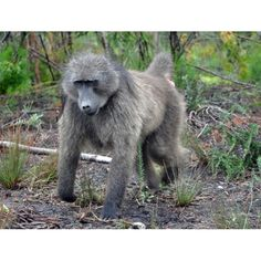 Baboons are diurnal and move through areas. This means that they do not strip an environment of its vegetation and resources. Baboon, Image Shows, Environment, Animals, Animales, Animaux, Animal Memes, Animal, Environmental Psychology