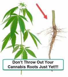 Don't+Throw+Out+Your+Cannabis+Roots+Just+Yet