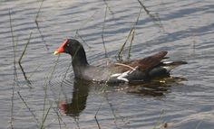 A Common Moorhen paddles its way around the lake at Garden Club Park