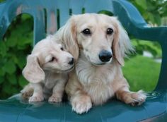 Rare colored doxies-(English cream. my next color long-haired)