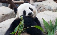 Download wallpapers Big panda, bear, China, zoo, green leaves, 4k, cute animals, pandas