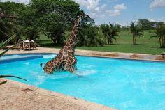 Giraffe cooling off